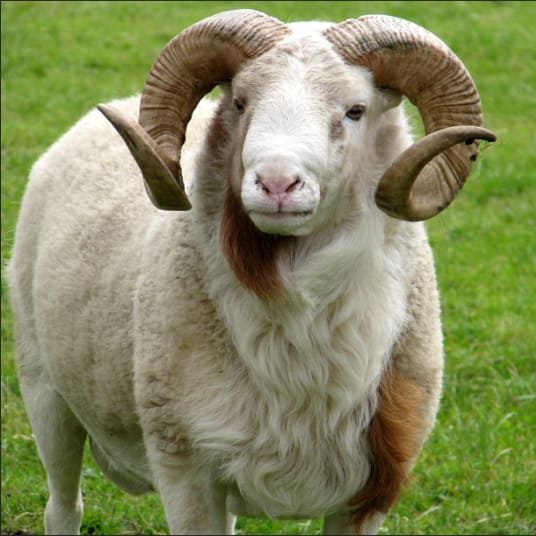 /R/a/Ram---55kg-5721248.png