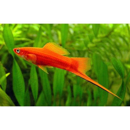 /S/w/Swordtail-Fish-6407035_1.jpg