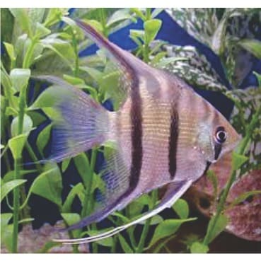 /T/h/The-Zebra-Angel-Fish-for-Fish-Bowls-and-Aquariums-4837795_3.jpg